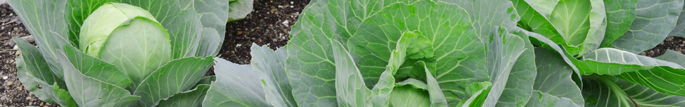 Click here to view a variety of cabbages you can grow in your spring garden.